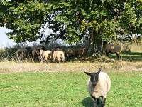 farma ovečky