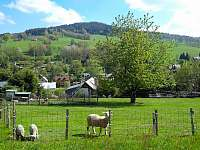 Ovce na vlastní louce - vítaná atrakce pro děti - chalupa ubytování Rokytnice nad Jizerou