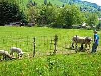 Ovce na vlastní louce - vítaná atrakce pro děti - chalupa k pronajmutí Rokytnice nad Jizerou