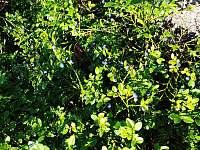 kytlické borůvky -