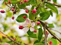 Jabloňové květy - pronájem chaty Velká Černoc