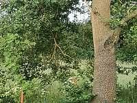 Vedeni - srnka za plotem 11.6.2020 - Lštění