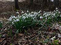 sněženky z okolí chalupy - Dolní Morava