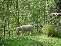 Živá sekačka na trávu - chalupa k pronájmu Bohdašín