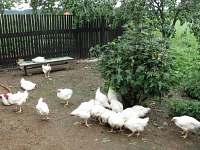 Domácí kuřata na maso