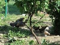 Kvočna s kuřátky