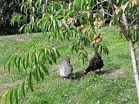 40 stromů v zahradě, ořechy, jabloně, hrušně, broskvoně, švestky, třešně a malin - Bouzov - Doly