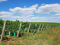 okolní vinice - apartmán k pronájmu Klučov