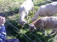 Ovečky u penzionu - Nové Hutě