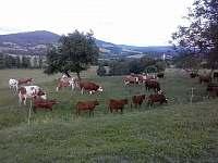 naše krávy s telaty - Petrovice u Sušice - Strunkov