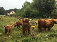 Pohled z horní louky na skotský náhorní dobytek a chalupu souseda - k pronájmu Úbislav V Dílech