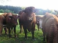 chov dobytka Sallers