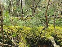 Prales u Teplé Vltavy - Volary - Chlum