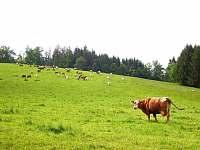 Krávy - pronájem chalupy Nýrsko - Blata