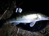 Candát - noční lov