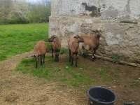 Ovce - roubenka k pronájmu Litoboř
