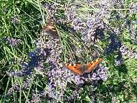 Levandule a motýli - chalupa k pronajmutí Paseky u Proseče