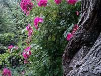 staré růže, staré stromy - Paseky u Proseče