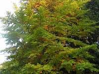 Buk na podzim - Tři Studně