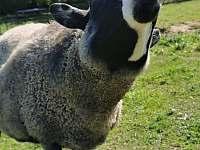 ovce ala pes :) - Mirošov