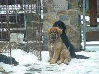 Zimu milují i naše tibetské dogy, ale štěňátka už trochu více vyrostla