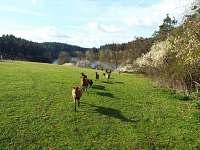 Smolův mlýn - kamerunské ovečky na pastvině - přijdou na zavolání :-)