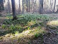 lesní bledule - Slavětín