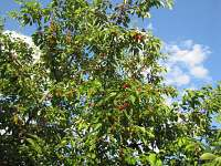 Třešně v červnu - chalupa k pronájmu Chroustov