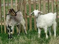 naše kozy